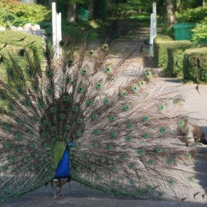 paon au château des boulard
